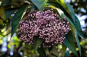 Calicarpa de Frutos Brancos Arbórea