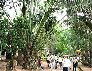 Palmeira Corypha utan