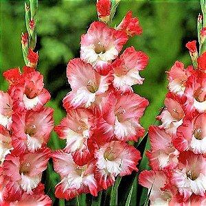 Gladíolo Pink Lady - Kit c/ 3 Bulbos