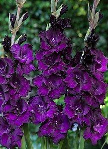 Gladíolo Black Velvet - c/ 6 Bulbos