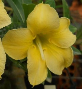 Rosa do Deserto Amarela Enxertada