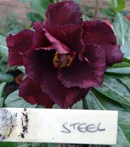 Rosa do Deserto Steel flor dupla Enxertada