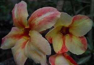 Rosa do Deserto Amarela c/ Vermelho Enxertada