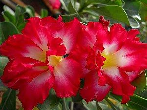Rosa do Deserto CHATTIP flor dupla Enxertada