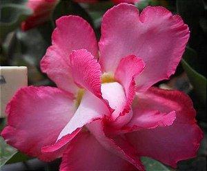 Rosa do Deserto cor Rosa flor dupla Enxertada