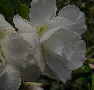 Rosa do Deserto Branca Pk5 flor dupla Enxertada
