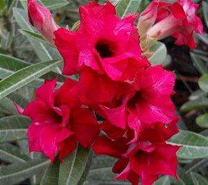 Rosa do Deserto Vermelha F1 Enxertada