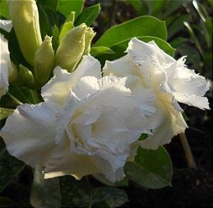 Rosa do Deserto Branca W3 flor dupla Enxertada