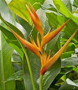 Heliconia Latispatha - Haste floral ascendente