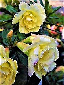 Rosa do Deserto Amarela Perm flor tripla Enxertada