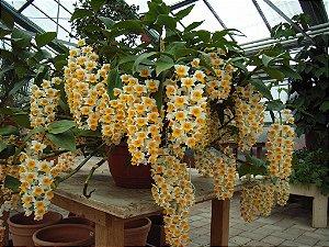 Orquídea Dendrobium thyrsiflorum - Adulta