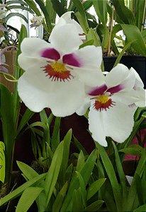Orquídea Miltoniopsis Ana Hickmann