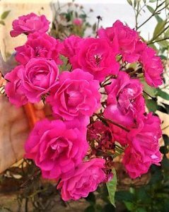 Rosa Sempre Flores cor Rosa