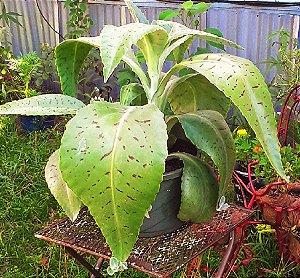 Kalanchoe Gastonis - Orelha-de-Burro Gigante-  Suculenta - Haste e Flores Gigantes