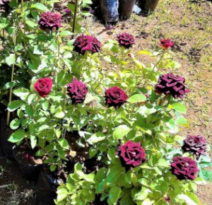Rosa Negra Natural - Rara - Mudas Enxertada