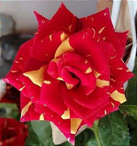 Rosa de Pétalas Mescladas Vermelho e Amarelo