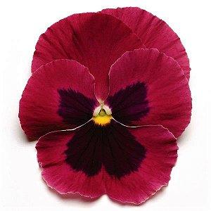 Amor-Perfeito Gigante Suíço Púrpura - Kit c/ 20 sementes
