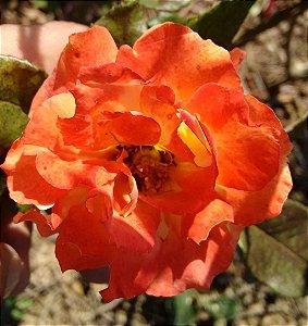 Rosa Salmão Enxertada
