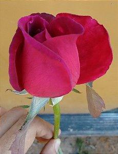 Rosa Bordô Enxertada