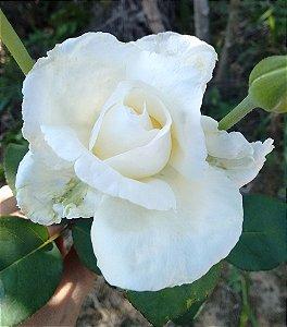 Rosa Branca Enxertada