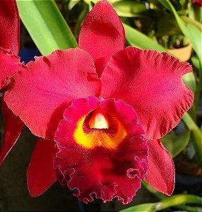 Orquídea Potinara Red Crab Kuan Miao