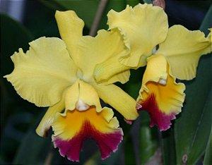 Orquídea BLC Goldenzelle Taida