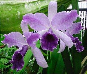 Orquídea Cattleya LC Mary Elizabeth Bohn Royal Flare