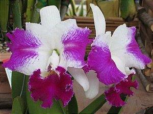 Orquídea Cattleya LC White Spark Love Crystal