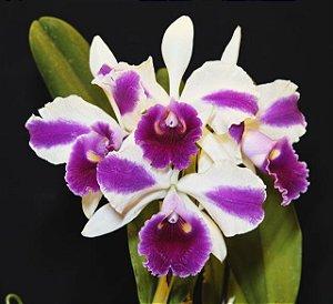 Orquídea Cattleya LC Remo Prada Crown