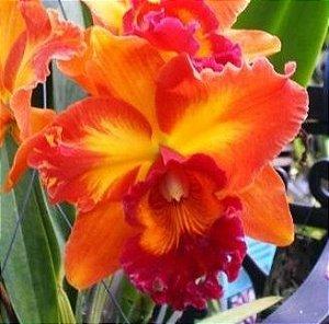 Orquídea Cattleya LC Mary Ellen Carter Dixie Hummingbird