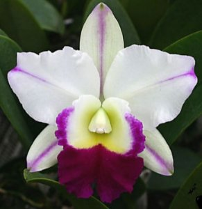 Orquídea Cattleya LC Mem Robert Strait