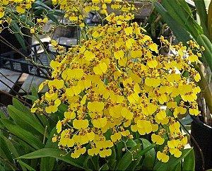 Orquídea Oncidium Aloha Iwanaga