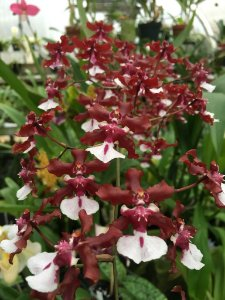 Orquídea Oncidium Sharry Baby Sweet Fragrance