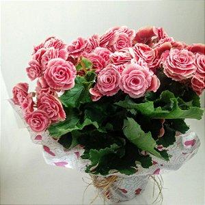 Vaso de Begônia rosada