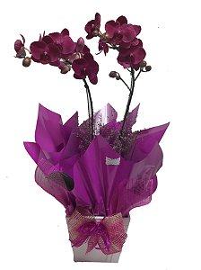 Orquídea Phaleonopsis Pink 2 Hast