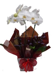 Orquidea Phalaenopsis no cachepô