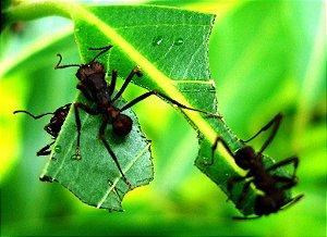 Isca Para Formigas Sauvas Cortadeiras 500 G