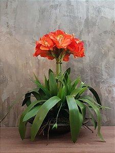 Amarilis laranja 60cm