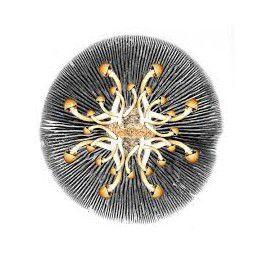 Psilocybe cubensis var. south american,-,-,-,1 print de esporos