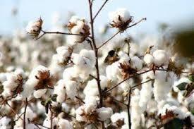 EBS-1784 Essência Flor de Algodão