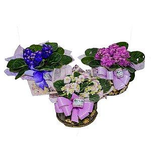 Violetinhas