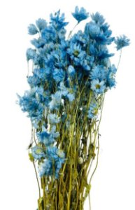 Maço de Margarida Desidratada Azul