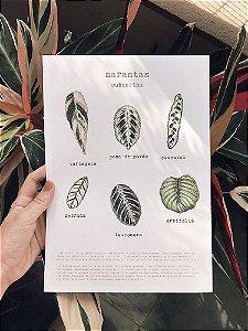 Print Marantas