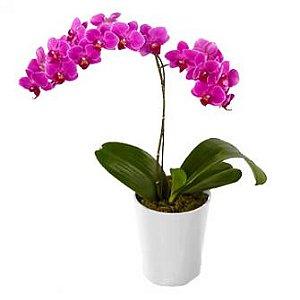 Orquidea lilas plantada Dupla
