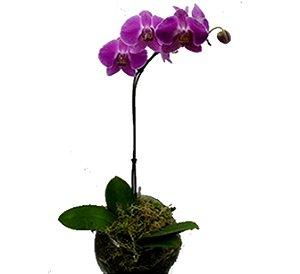 Orquídea plantada lilás