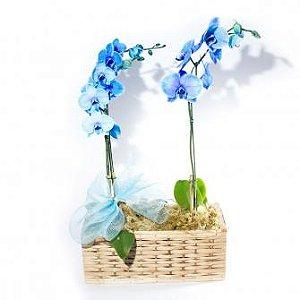 Cesta de Orquídeas Azuis