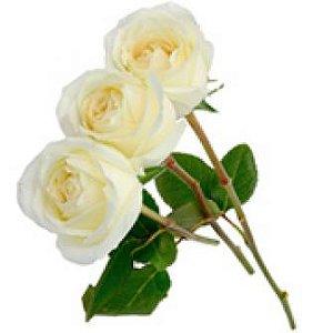 3 Rosas Brancas
