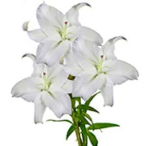 Lírio Branco - galho