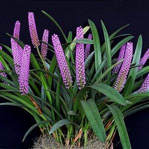 Arpophyllum Giganteum vaso cheio - Adulto