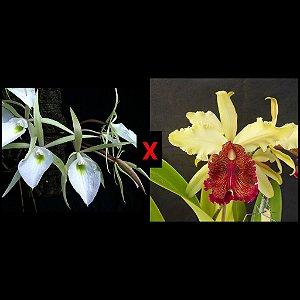 Brassavola Tuberculata × Cattleya Dowiana - Tamanho 3